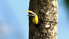 Black-mandibled Toucan at a nest hole. Photo by participant Larry Peavler.