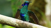 A Violetear, certainly Sparkling! Photo by participant Larry Peavler.