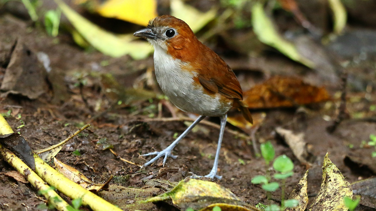 White-bellied Antpitta is regular at San Isidro. Photo by participant Larry Peavler.