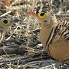 Four-banded Sandgrouse are a rare possibility on our route. Photo by Richard Webster.