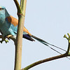 The lovely Abyssinian Roller, by Richard Webster