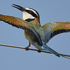 White-throated Bee-eater, a bird of the subdesert steppes, by participant Becky Hansen