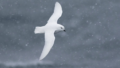 Snow Petrel...in the snow, photographed by guide Tom Johnson.