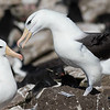 Black-browed Albatross courtship, photographed by guide Tom Johnson.