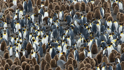 King Penguins with chicks, photographed by guide Tom Johnson.