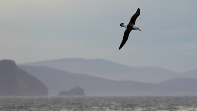 Black-browed Albatross and the Falklands, photographed by guide Tom Johnson.