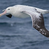 Snowy Wandering Albatross, photographed by guide Tom Johnson.