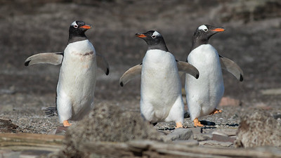 The Three Musketeers: Gentoo Penguins, photographed by guide Tom Johnson.