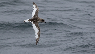Antarctic Petrel, photographed by guide Tom Johnson.