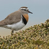 Rufous-chested Dotterel, Falklands, photographed by guide Tom Johnson.