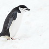 Chinstrap Penguin, Half Moon Island, photographed by guide Tom Johnson.