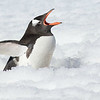 Gentoo Penguin, Antarctic Peninsula, photographed by guide Tom Johnson.