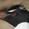 Southern Rockhopper Penguin, photographed by guide Tom Johnson.