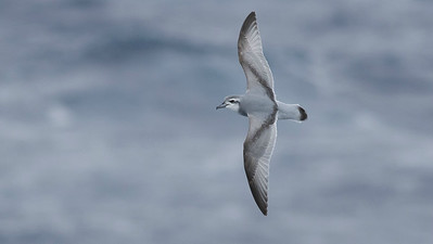 Antarctic Prion, photographed by guide Tom Johnson.