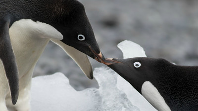 Adelie Penguins, photographed by guide Tom Johnson.