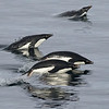 Adelie Penguins flying through water, photographed by guide Tom Johnson.