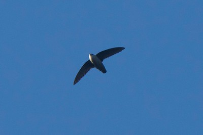 Vaux's Swift, photographed by guide Cory Gregory.