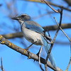California Scrub-Jay, photographed by guide Cory Gregory.