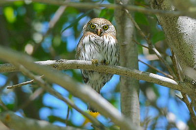 Northern Pygmy-Owl, photographed by guide Cory Gregory.