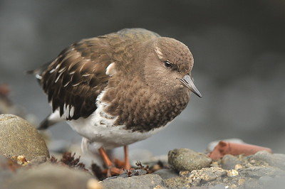 Black Turnstone, photographed by guide Cory Gregory.