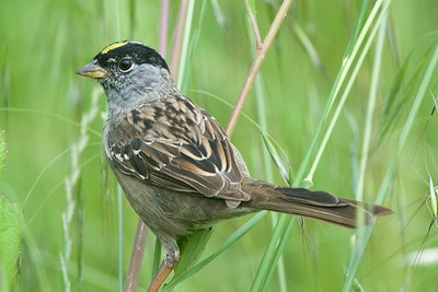 Golden-crowned Sparrow, photographed by guide Cory Gregory.