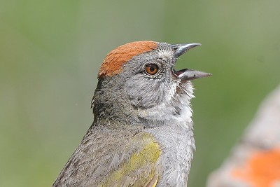 Green-tailed Towhee, photographed by guide Cory Gregory.
