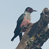 Lewis's Woodpecker, photographed by guide Cory Gregory.