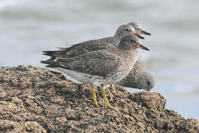 Surfbirds, photographed by guide Cory Gregory.