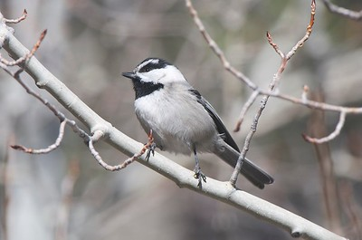 Mountain Chickadee, photographed by guide Cory Gregory.