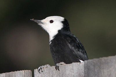 White-headed Woodpecker, photographed by guide Cory Gregory.