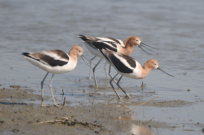 American Avocets, photographed by guide Cory Gregory.