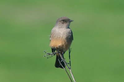 Say's Phoebe, photographed by guide Cory Gregory.