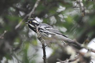 Black-throated Gray Warbler, photographed by guide Cory Gregory.