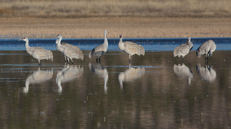 Sandhill Cranes in early morning light. Photo by guide Doug Gochfeld.