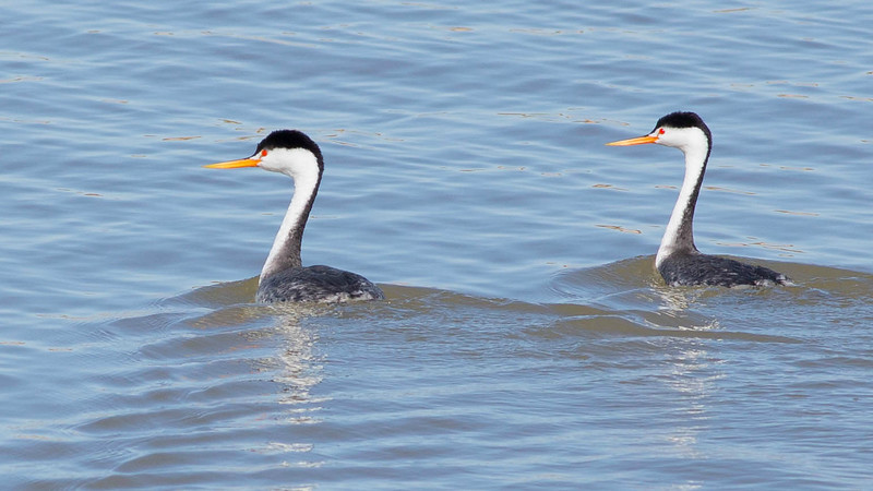 White faces, orangey bills: a lovely duo of Clark's Grebes. Photo by guide Doug Gochfeld.