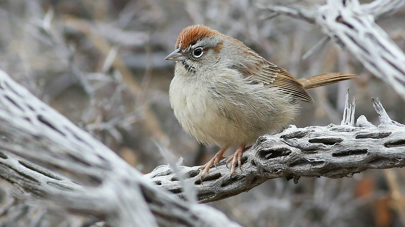 Simple but elegant: Rufous-crowned Sparrow. Photo by guide Doug Gochfeld.