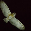 We might even get lucky with a little nightbirding, too: Barn Owl by guide Doug Gochfeld.