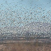 Wintering geese create an amazing spectacle. Photo by guide Doug Gochfeld.