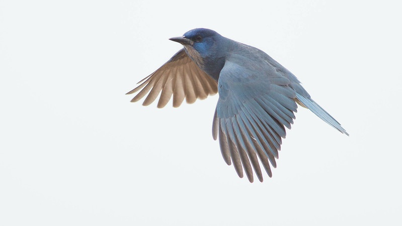 Pinyon Jay blue is an unusual color in nature. Photo by guide Doug Gochfeld.