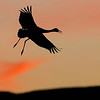Sandhill Crane against the sunset. Photo by guide Doug Gochfeld.