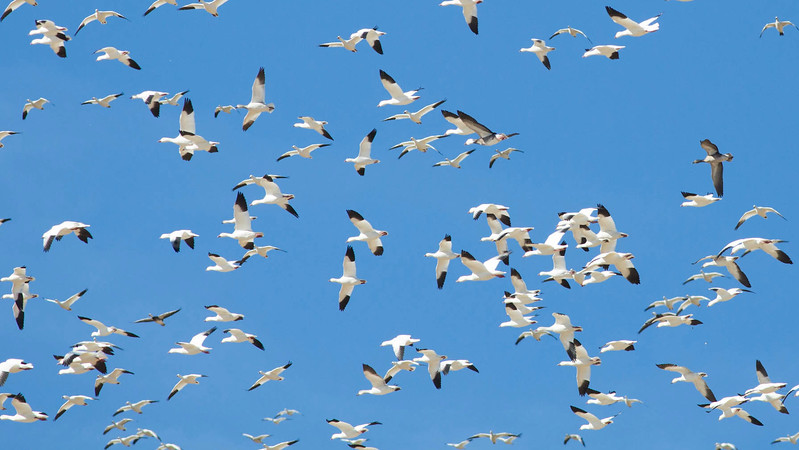 Snow and Ross's geese should be a lovely distraction for us. Photo by guide Doug Gochfeld.