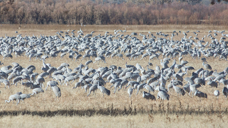 We should see very large gatherings of Sandhill Cranes. Photo by guide Doug Gochfeld.