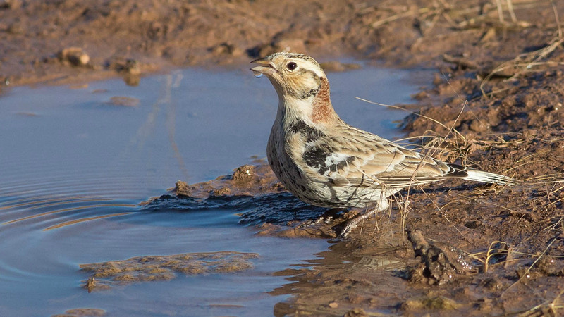 A Chestnut-collared Longspur takes time for a drink. Photo by guide Doug Gochfeld.