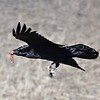 Chihuahuan Raven with take-out by guide Doug Gochfeld