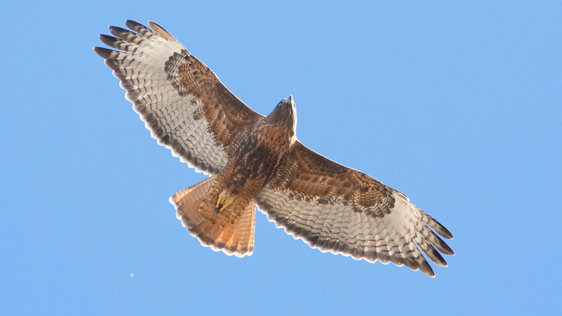 A rufous Red-tailed Hawk by guide Doug Gochfeld.