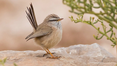 Scrub Warbler, photographed by guide Doug Gochfeld.