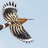 Eurasian Hoopoe, photographed by guide Doug Gochfeld.