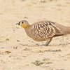 Crowned Sandgrouse, photographed by guide Doug Gochfeld.
