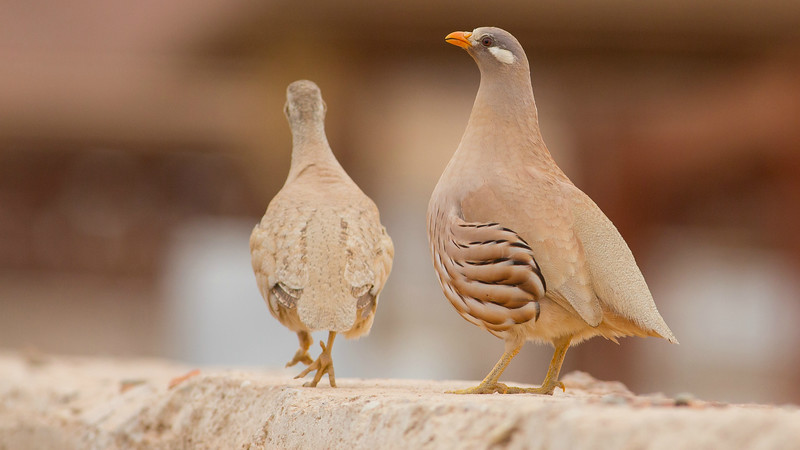 Sand Partridge, photographed by guide Doug Gochfeld.