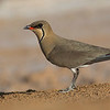 Collared Pratincole, photographed by guide Doug Gochfeld.